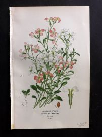 Edward Step 1897 Botanical Print. Virginian Stock